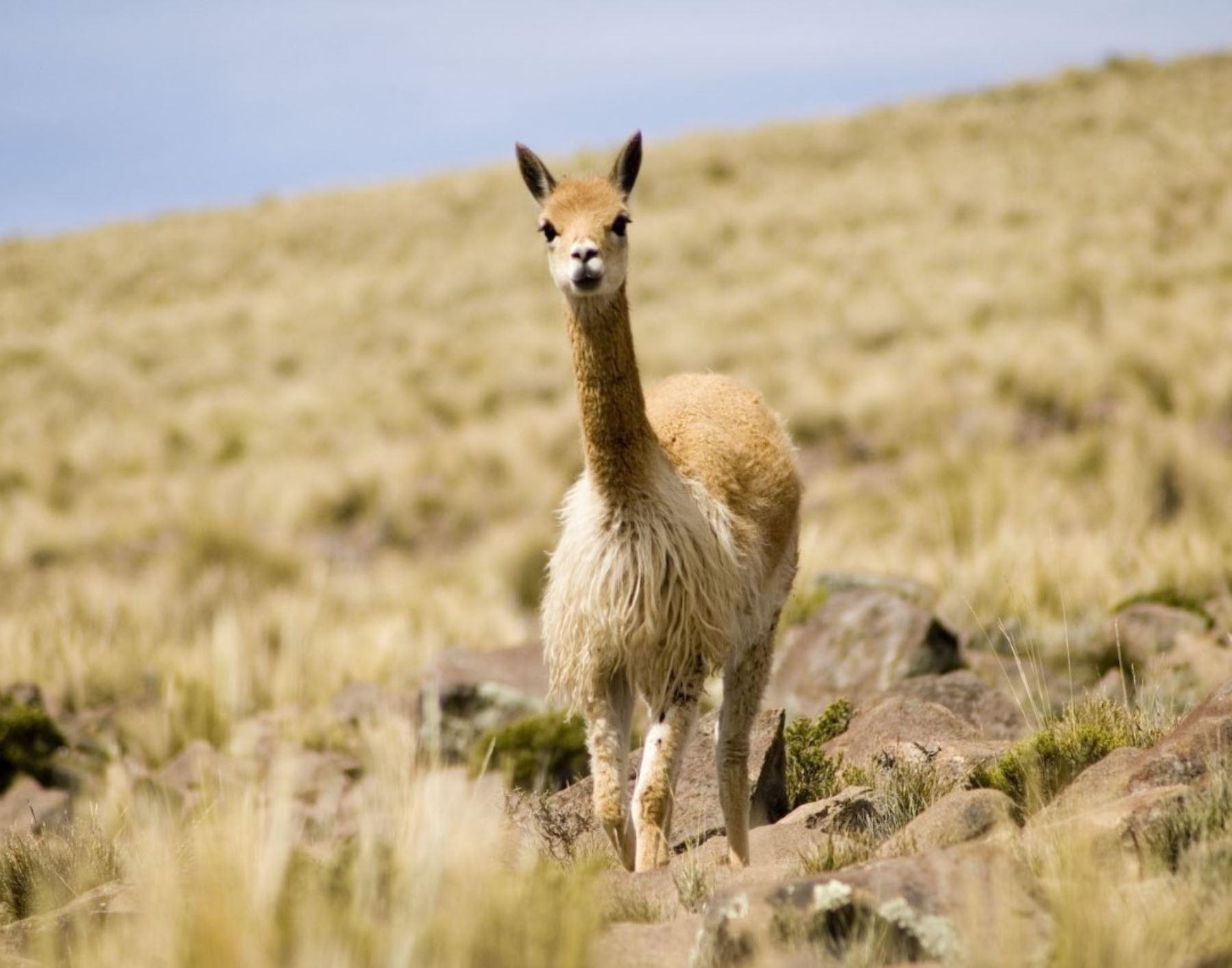 Serfor anuncia proyecto para impulsar el uso sostenible y protección de la vicuña en cuatro comunidades campesinas de Junín.