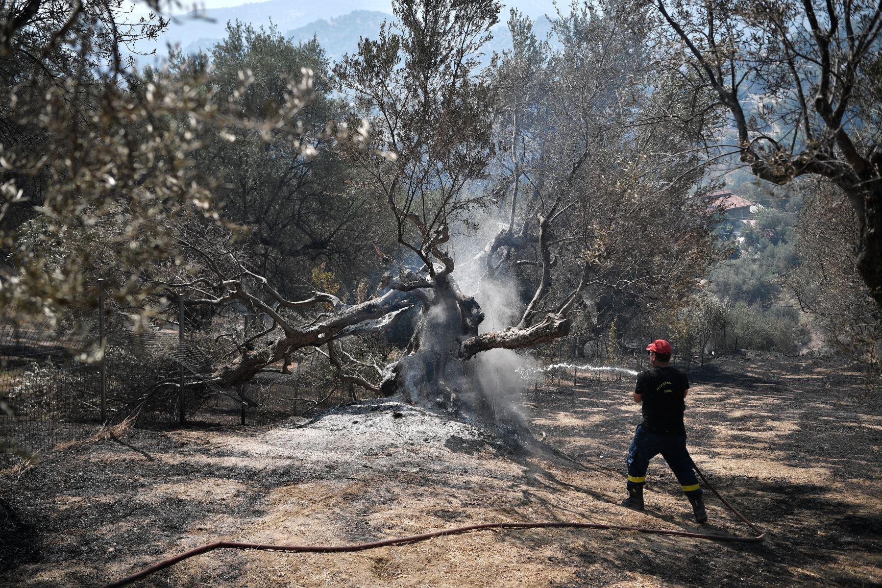 Un bombero riega un árbol quemado en Ziria, cerca de Patras. Cerca de 300 bomberos, dos aviones bombarderos de agua y cinco helicópteros estaban luchando para apagar un incendio forestal en Grecia. Foto: AFP