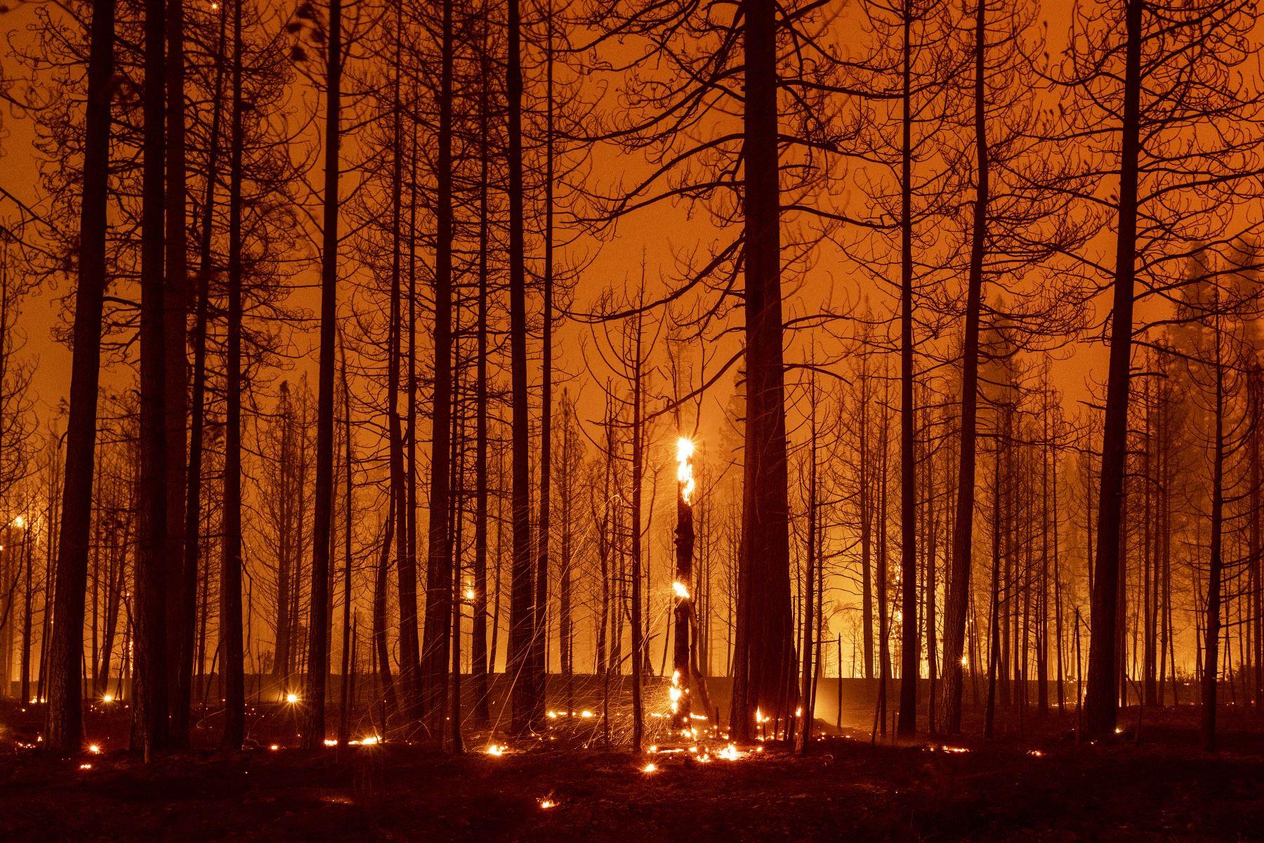 Los árboles arden y durante el incendio de Dixie cerca de Greenville, California. El incendio de Dixie ha quemado más de 250,000 acres y continúa acercándose a las comunidades residenciales. Foto: AFP