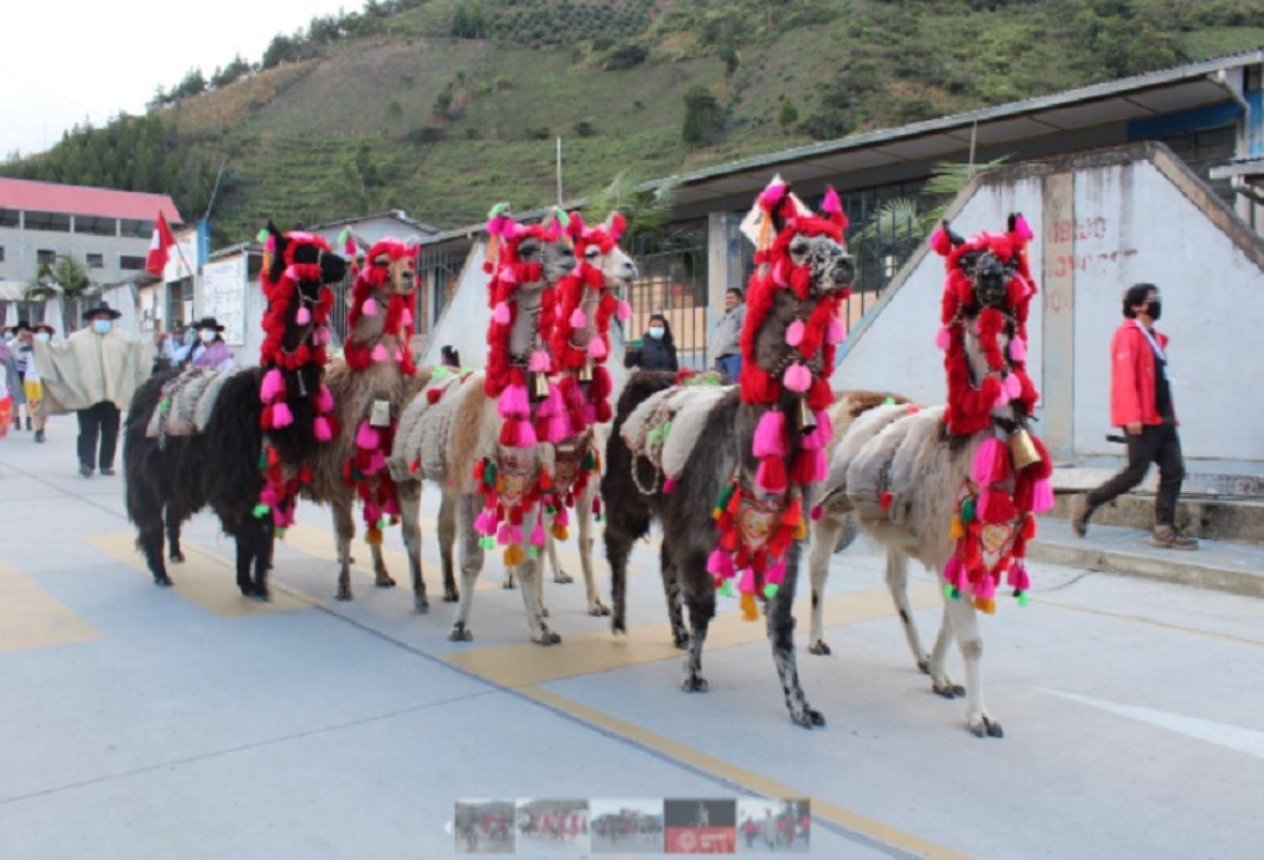 Tras dieciocho días de recorrido por diversas comunidades campesinas y nativas de la región Pasco, se completó la ruta de las llamas cargueras que llevan la cápsula del tiempo regional con motivo del bicentenario de la independencia del Perú. Foto: Proyecto Especial Bicentenario.