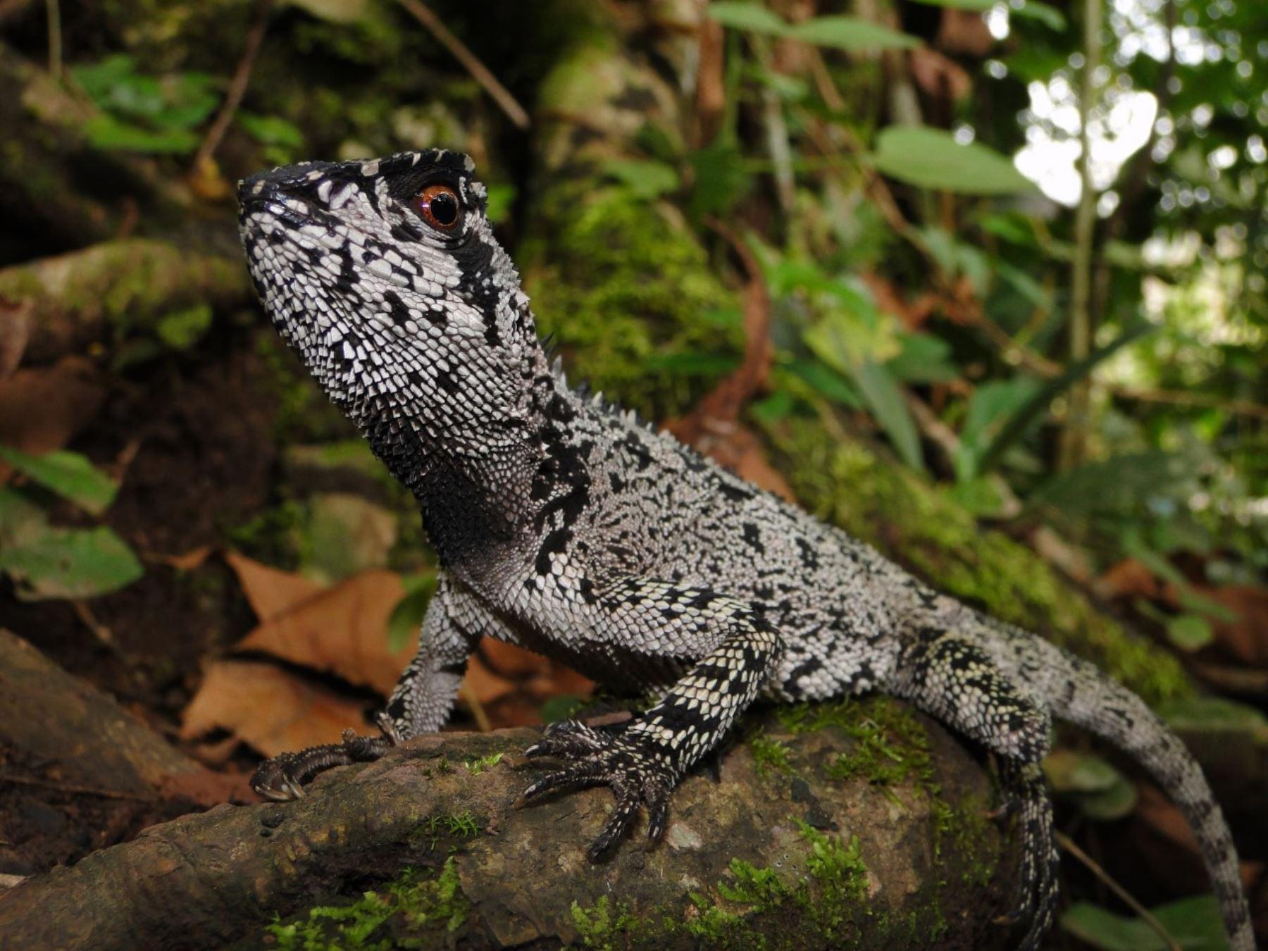 Un nuevo descubrimiento científico fue anunciado por el Sernanp que informó del hallazgo de una nueva especie de lagartija en el Parque Nacional Tingo María, en Huánuco. Foto: Pablo Venegas