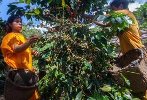 En los bosques de Junín crece un café con aroma y acidez particular que es producido por las comunidades indígenas asháninkas y nomatsiguengas del distrito de Pangoa, provincia de Satipo, bajo el acompañamiento técnico del Servicio Nacional Forestal y de Fauna Silvestre (Serfor) del Ministerio de Desarrollo Agrario y Riego (Midagri). Foto: Serfor/Midagri.