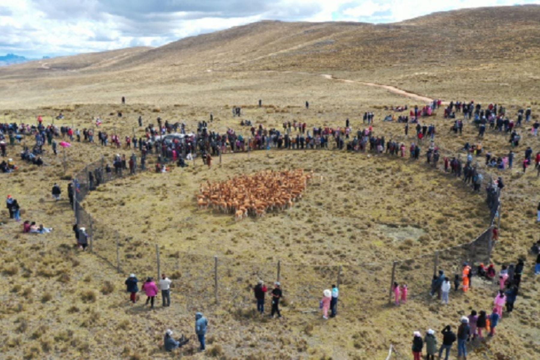 Aproximadamente 250 vicuñas fueron esquiladas a fin de extraer su fibra, una de las más finas del mundo. Al  final de la jornada se obtuvieron 130 vellones de vicuñas y un promedio de 22 kilos de fibra.