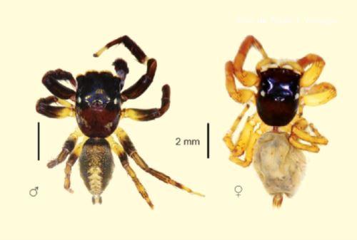 """Dos nuevas especies de arañas amazónicas, conocidas como """"saltarinas"""", fueron descubiertas para la ciencia por un biólogo peruano en las inmediaciones del río Tambopata, en la región Madre de Dios, que concentra una de las mayores biodiversidades del planeta. Foto: Museo de Historia Natural de la UNMSM."""