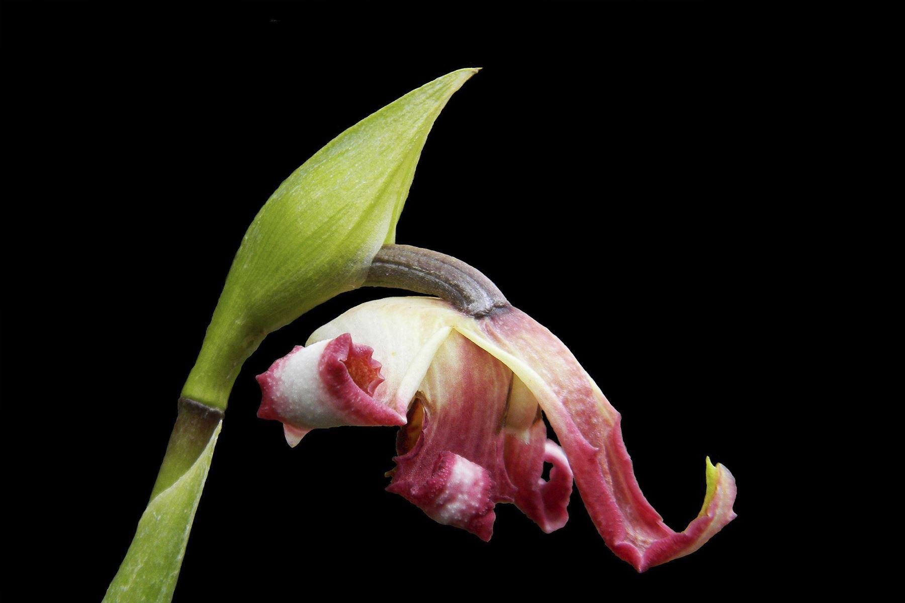 Hallazgo de un tipo de orquídea que no había sido descrito anteriormente fue hecho en Oxapampa, Pasco, por un grupo de investigadores que busca conocer a profundidad los procesos de polinización de la planta.