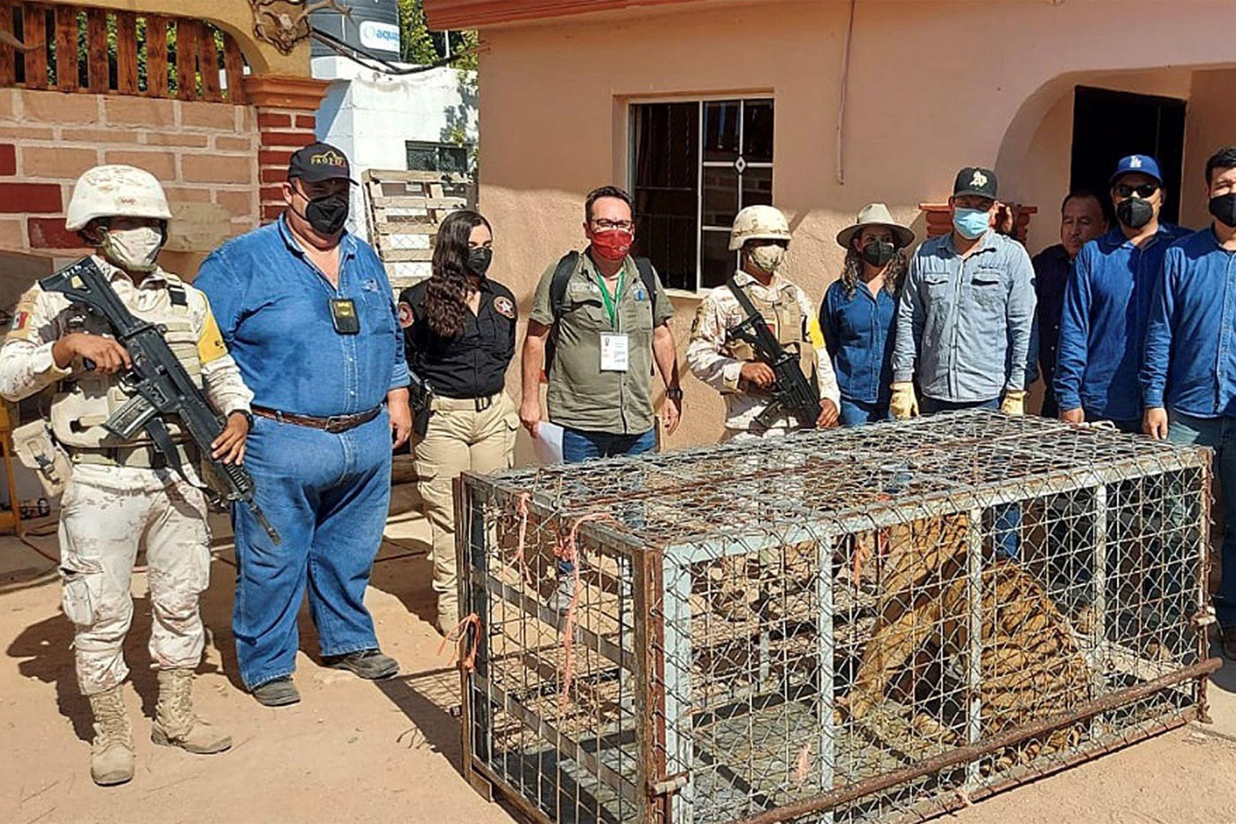 Agentes de la Guardia Nacional de México y de la Fiscalía aseguraron a una tigresa de Bengala durante un operativo de cateo en Sonora. Foto: EFE