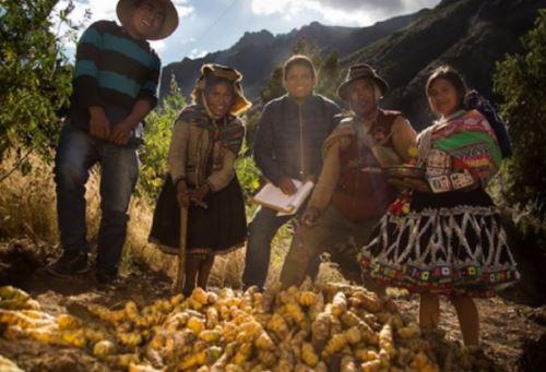 Pequeños agricultores de la Comunidad de Chillihuani, en Cusco, a 4,000 metros sobre el nivel del mar, recuperaron y conservan variedades de mashua, un tubérculo nativo muy resistente y más nutritivo que la papa, que además cuenta con propiedades medicinales antibióticas valoradas tradicionalmente, por lo que es considerado un superalimento. Foto: PNUD
