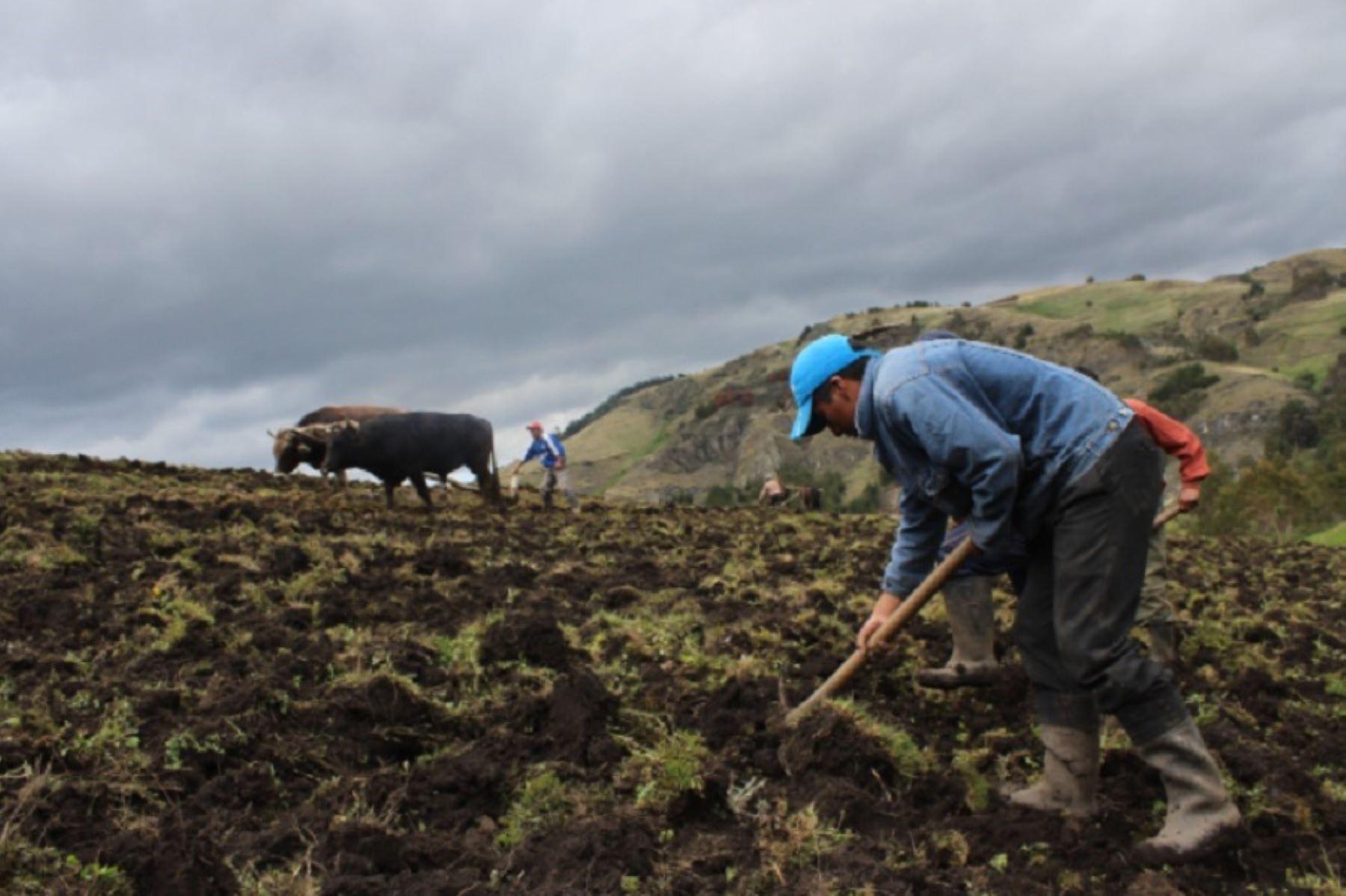 Cusco: Agro Rural impulsa cadenas de valor agropecuarias con campaña de siembra de pastos