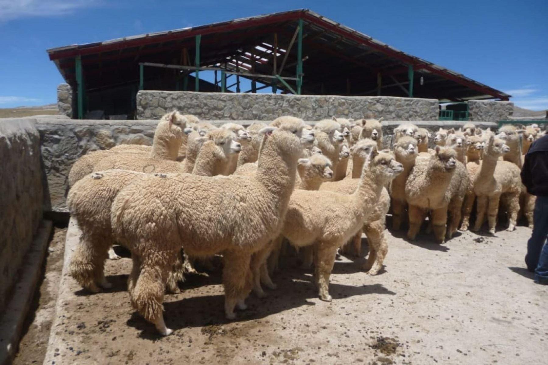 Segunda Reforma Agraria: AgroRural invertirá S/ 79 millones para potenciar ganadería