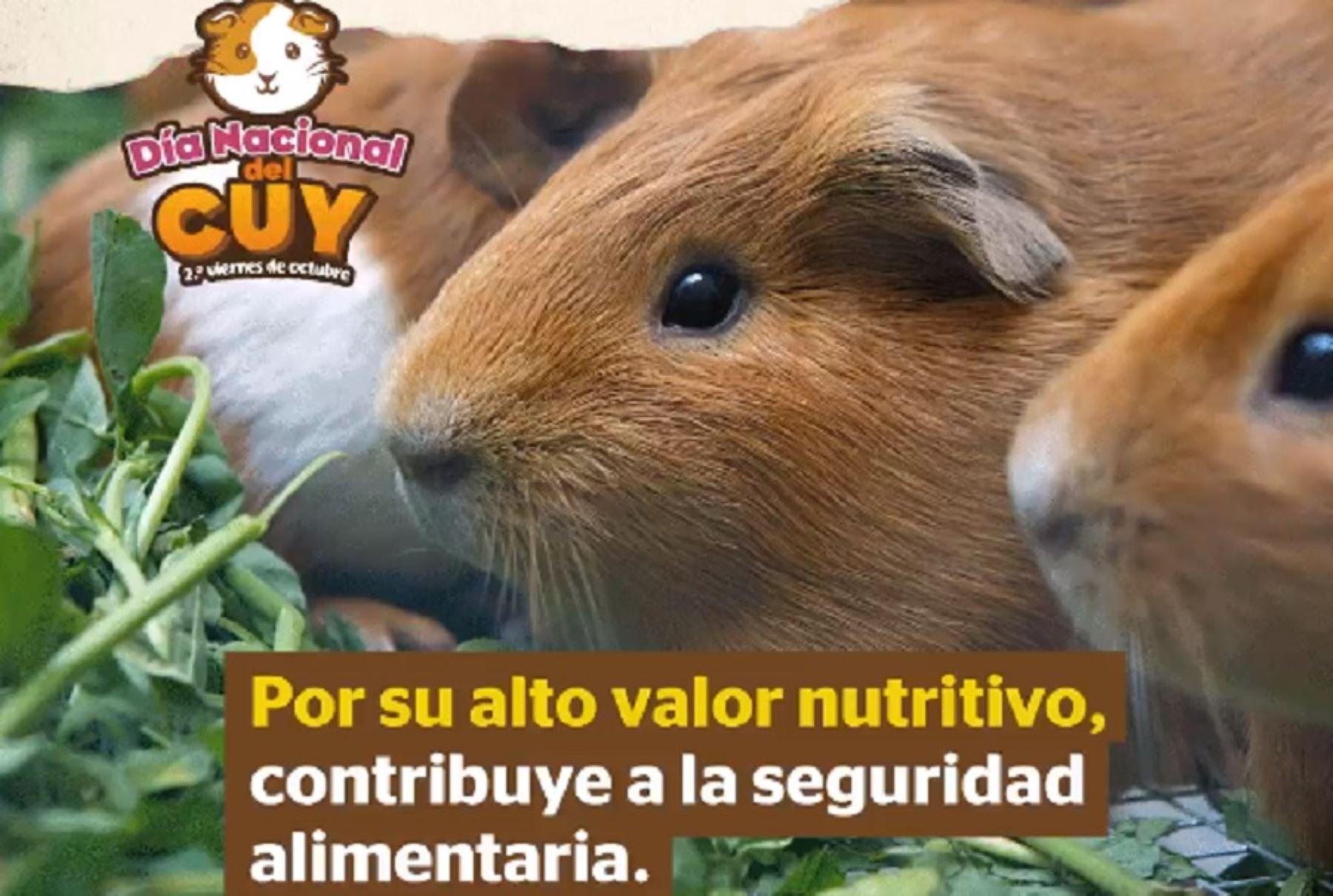 Día Nacional del Cuy: superalimento seduce más paladares por su sabrosa y nutritiva carne