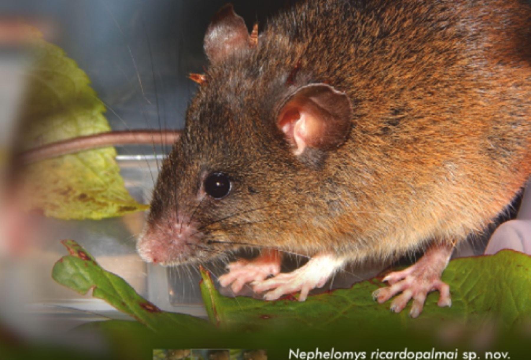 Biólogos peruanos descubren dos nuevas especies de roedores en Amazonas y Piura