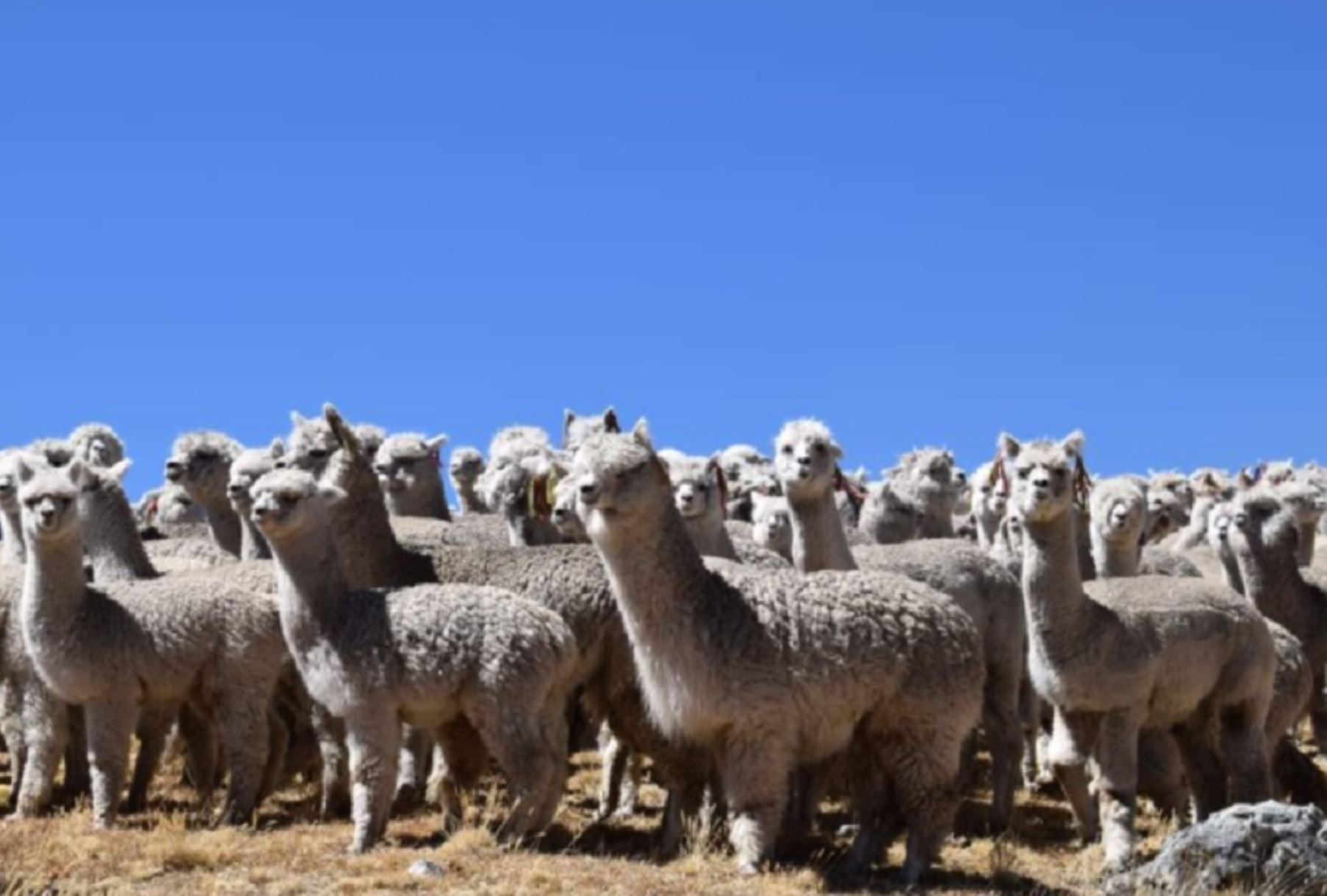 Ayacucho: INIA realiza tratamiento de enfermedades parasitarias de alpacas en Vinchos