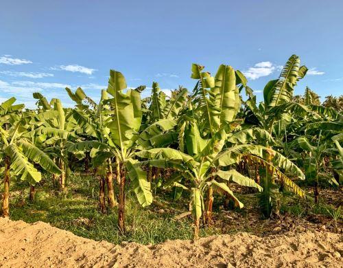 Un innovador plan elaborado por investigadores de la Universidad de Piura optimiza el riego en terrenos de cultivo y potencia la producción de banano orgánico que tiene gran demanda en mercados internacionales. ANDINA/Difusión