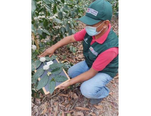 Con germoplasma de café de alta calidad genética el INIA busca potenciar la producción de aromático grano en el Perú. ANDINA/Difusión