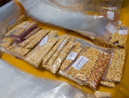 Investigadores del INIA implementan banco de germoplasma de la quinua en Puno que permitirá desarrollar trabajos para mejorar la calidad genética de este cereal andino. Foto: ANDINA/difusión.