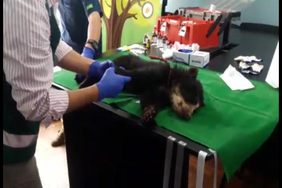 Huancayo: rescatan osezno que permaneció amarrado a un árbol