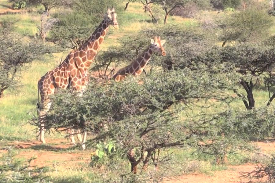 """La jirafa y la amenaza de """"extinción silenciosa"""" en África"""