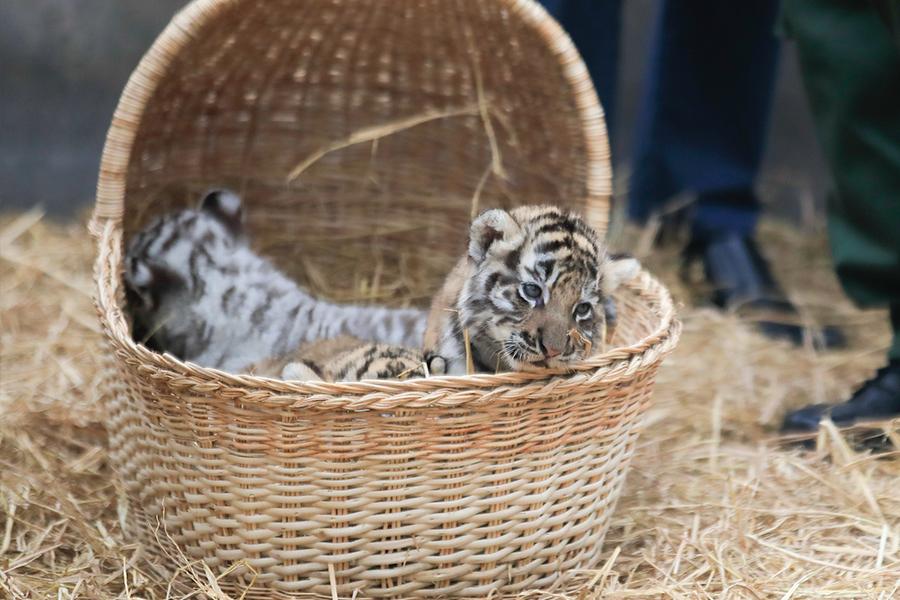Tres tigres de bengala nacen en Parque de las Leyendas