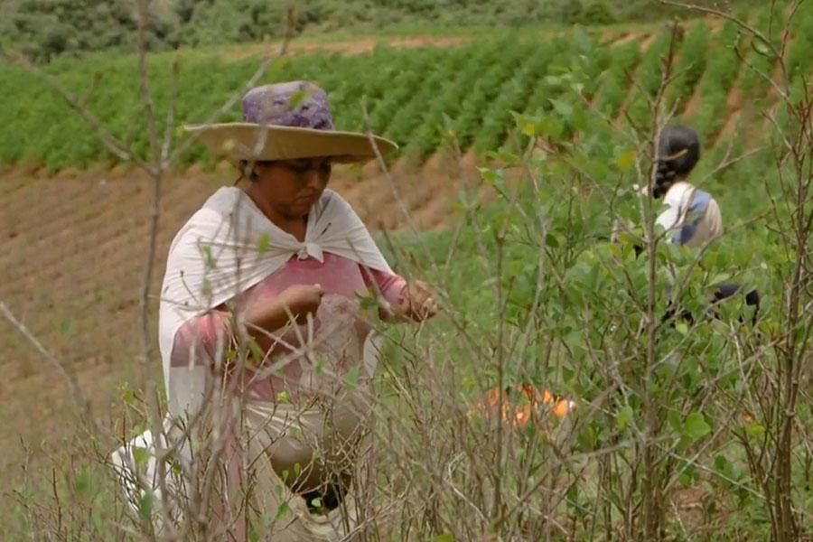 """""""Habrá guerra"""" si nos sacan tierra, advierten yungas cocaleros en Bolivia"""