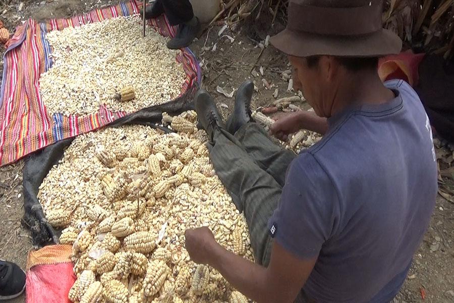 Pichos: el pueblo que se alimentó solo de maíz para evitar al covid-19