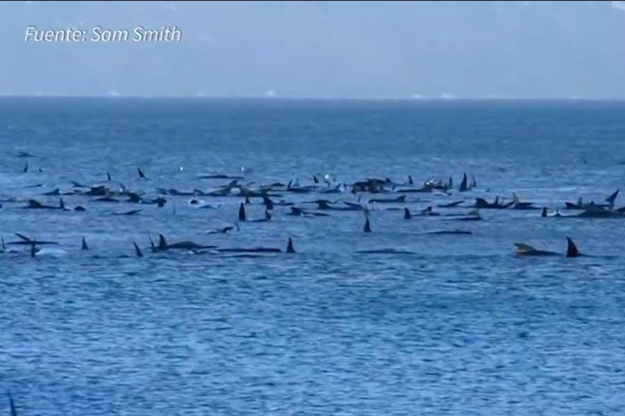 Australia: cientos de ballenas quedaron varadas en Tasmania