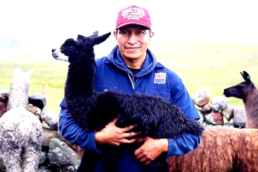 ¡Perú hace historia! reproducen llamas con biotecnología