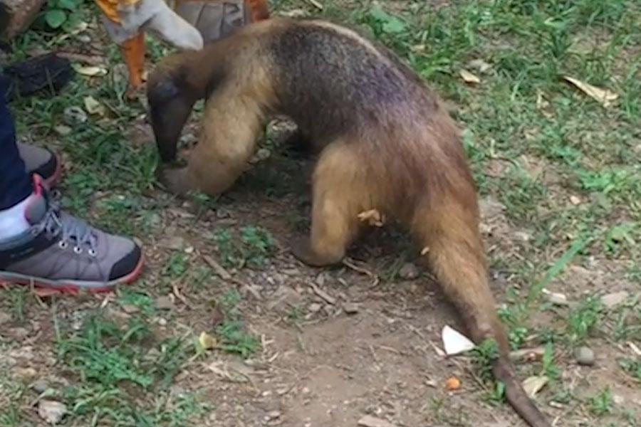 Oso hormiguero que escapó de incendio forestal es liberado en Cusco