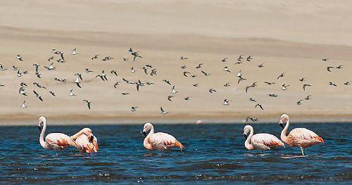 La Reserva Nacional de Paracas alberga una gran cantidad de aves migratorias.