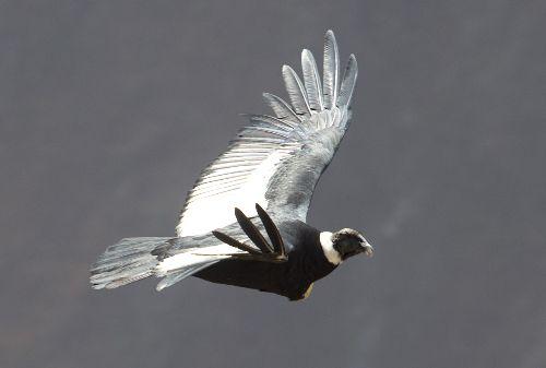 El vuelo del cóndor es uno de los espectáculos más esperados de los turistas que visitan el valle del Colca.