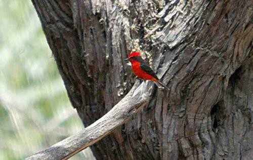 Diversas especies de aves, algunas endémicas, viven en el Santuario Bosque de Pómac.