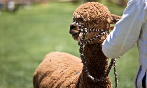 Alpaca Fiesta 2018 se desarrollará del 22 al 27 de octubre.