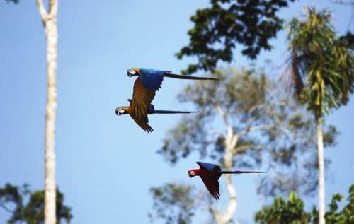 En la Reserva Nacional Tambopata destaca el espectáculo que ofrecen los guacamayos.