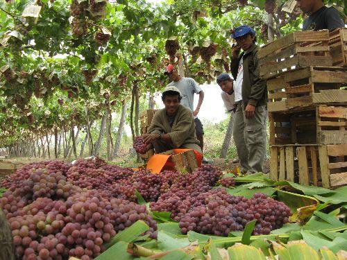 Operarios deben cumplir normas de seguridad y un manejo adecuado de la cosecha.