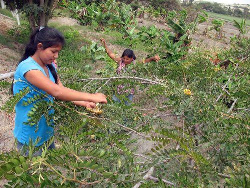 La producción de tara involucra a 45,000 familias de cinco regiones.